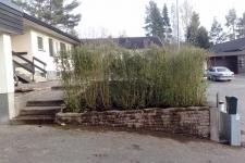 Nyplanterad uppvuxen ligusterhäck 150 hög sedd från sidan vid garageuppfarten