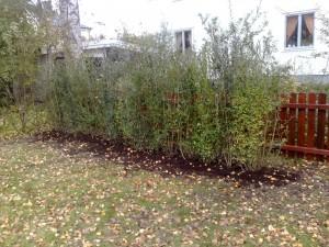 Ligusterhäck 180cm hög planterad och klar